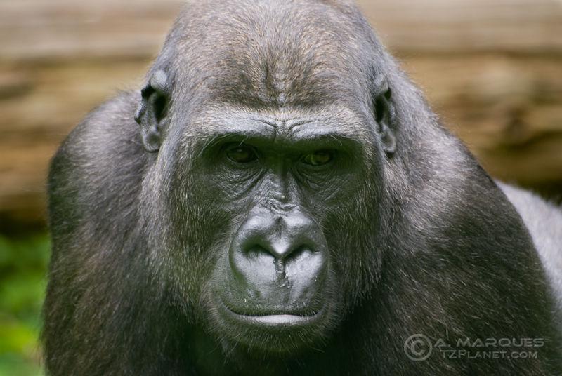 Gorilla (Gorilla gorilla gorilla)
