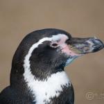Peruvian Penguin (Spheniscus humboldti)