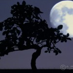 Bonsai with Moon
