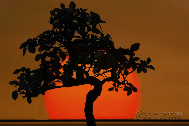 Bonsai with Sun