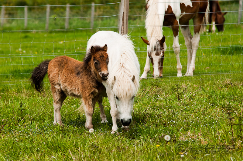 Young Pony and Mother
